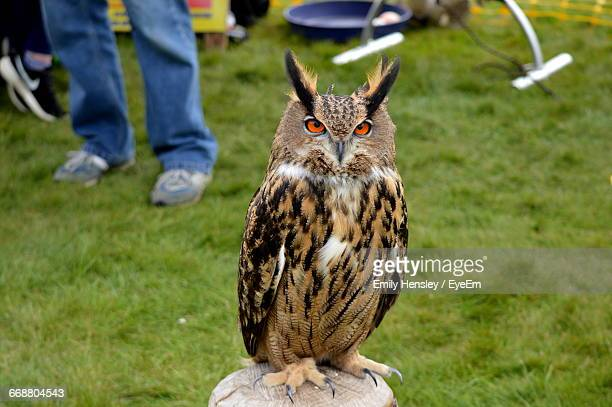 portrait of great horned owl on wooden post - great horned owl stock pictures, royalty-free photos & images