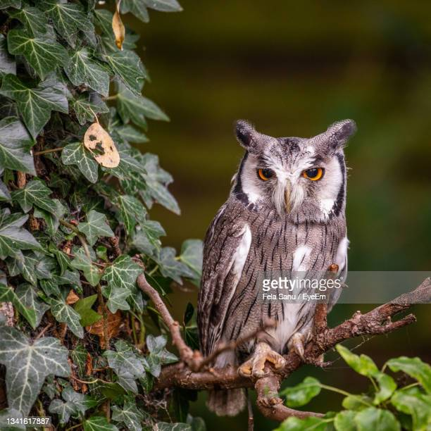 portrait of great horned owl perching on branch in uk. - great horned owl stock pictures, royalty-free photos & images