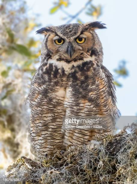 portrait of great horned owl perching on branch,philippe park,united states,usa - great horned owl stock pictures, royalty-free photos & images