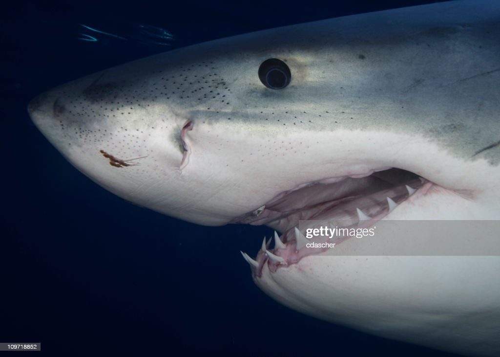 Portrait of Great White Shark : Stock Photo
