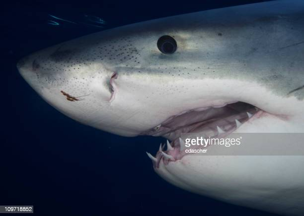 portrait of great white shark - great white shark stock photos and pictures