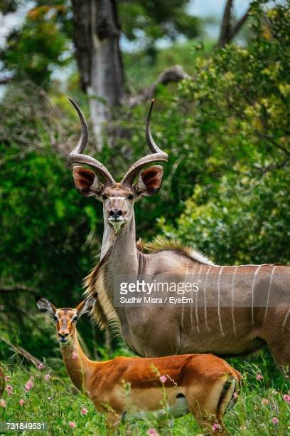 Portrait Of Greater Kudu Bull And Deer