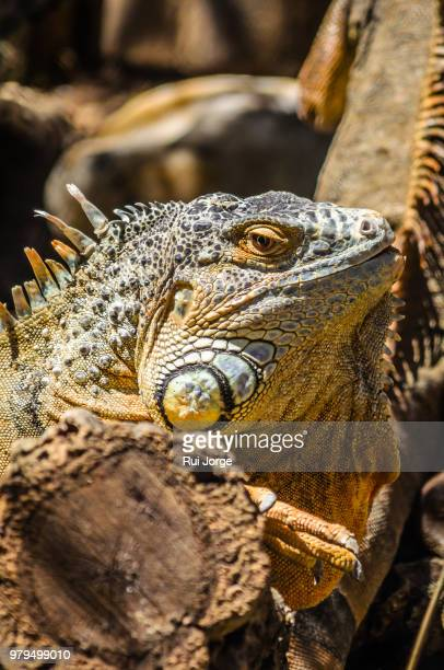 portrait of green iguana (iguana iguana), monte selvagem, lavre, portugal - animal selvagem stock pictures, royalty-free photos & images