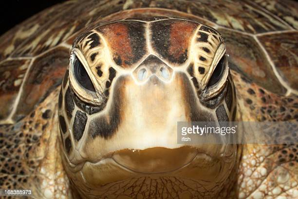 portrait of green turtle at bunaken island, north sulawesi, indonesia - beak stock pictures, royalty-free photos & images
