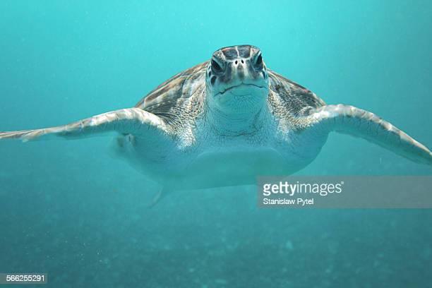 Portrait of green turtle underwater in ocean