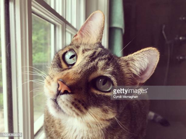 portrait of green-eyed tabby cat - domestic animals stock pictures, royalty-free photos & images