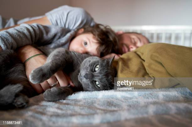 portrait of grey cat resting on bed with toddler girl and father - feline stock pictures, royalty-free photos & images