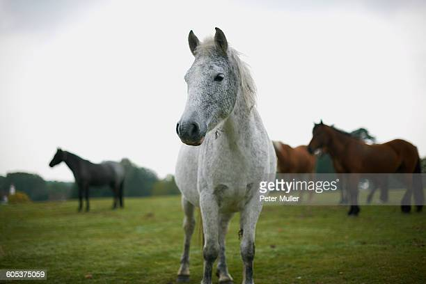 portrait of grey horse in field - bay horse stock photos and pictures