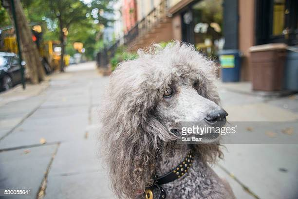 portrait of grey poodle on city sidewalk - poodle stock pictures, royalty-free photos & images