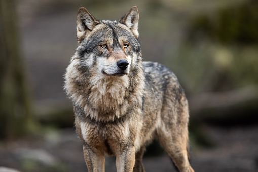 Portrait of grey wolf in the forest 1208985997