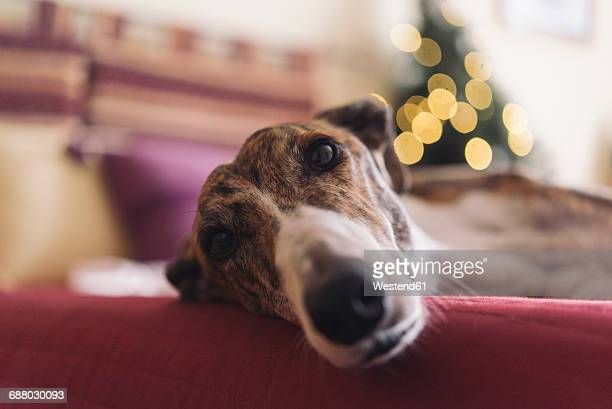 Portrait of Greyhound lying on couch at Christmas time