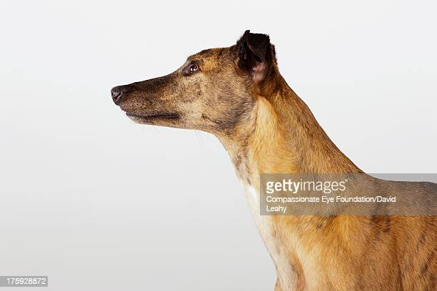 Portrait of greyhound, side view