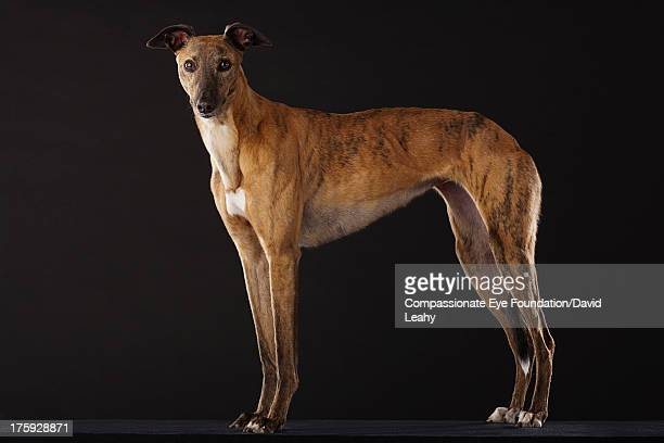 Portrait of Greyhound standing, side view