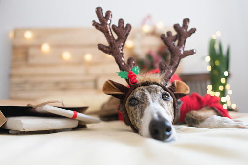 Portrait of Greyhound wearing deer antler headband - gettyimageskorea