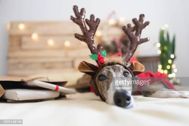 portrait of greyhound wearing deer antler headband - comemoração conceito imagens e fotografias de stock
