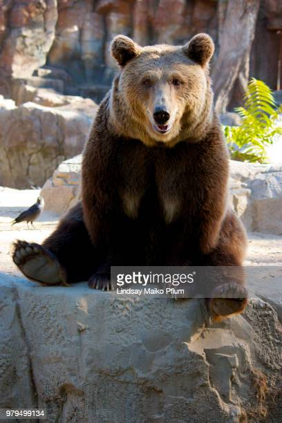 portrait of grizzly bear (ursus arctos), madrid, spain - orso grizzly foto e immagini stock