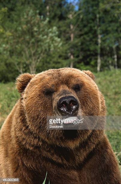 Portrait of Grizzly Bear