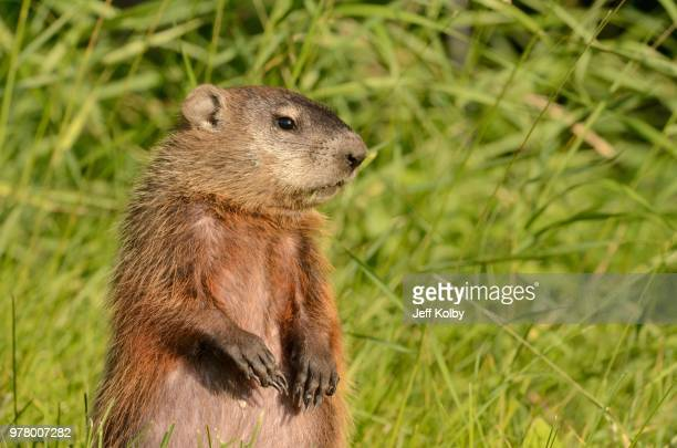 portrait of groundhog, wisconsin, usa - staadts,_wisconsin stock pictures, royalty-free photos & images