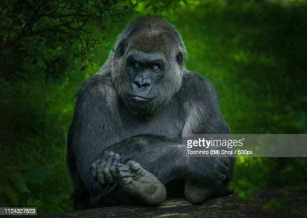 portrait of grownup gorilla - gorilla hand stock photos and pictures