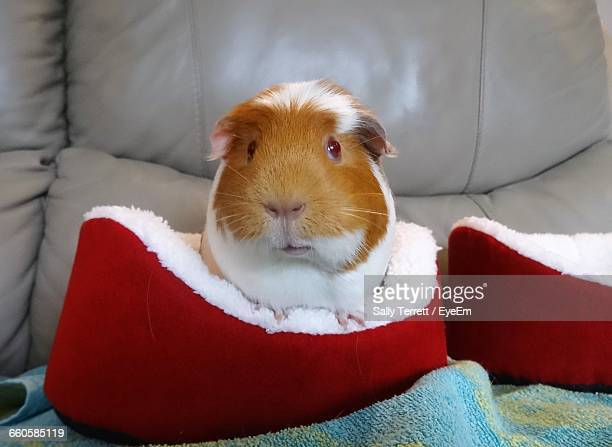 Portrait Of Guinea Pig In Red Pet House
