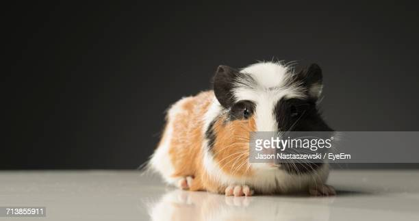 Portrait Of Guinea Pig