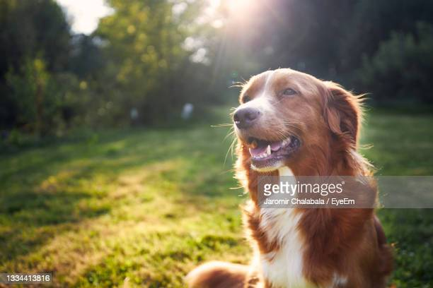 portrait of happy dog in the countryside. nova scotia duck tolling retriever on meadow at sunset. - nova scotia duck tolling retriever stock pictures, royalty-free photos & images