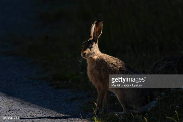 portrait of hare on field during sunny day - per grunditz stock pictures, royalty-free photos & images