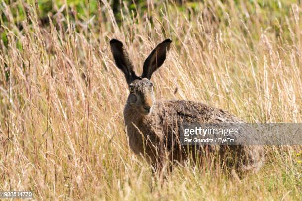 portrait of hare on grassy field during sunny day - per grunditz stock pictures, royalty-free photos & images