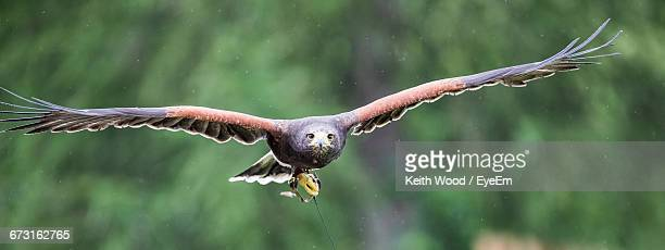 portrait of harris hawk flying against trees - harris hawk stock photos and pictures