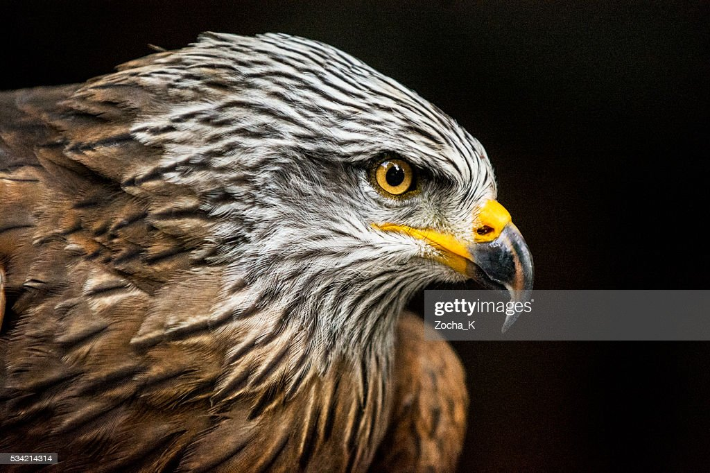 Portrait of hawk against dark background (high ISO, shallow DOF) : Stock Photo