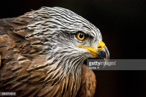 portrait of hawk against dark background (high iso, shallow dof) - hawk bird stock photos and pictures