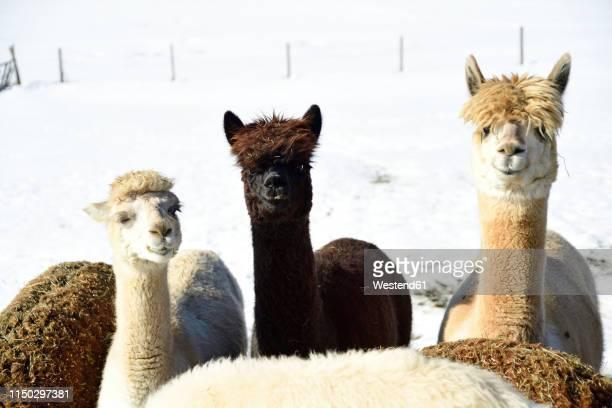 portrait of herd of alpacas outdoors in winter - froid humour photos et images de collection