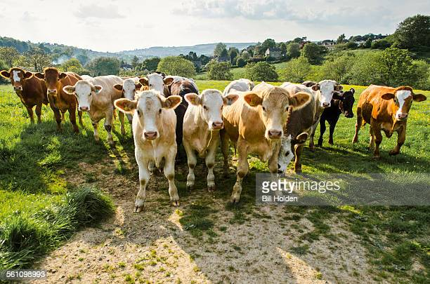 portrait of herd of cows in rural green field - organic farm stock photos and pictures