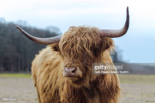 portrait of highland cattle on field against sky - highland cattle stock photos and pictures
