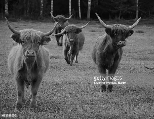 Portrait Of Highland Cattle On Grassy Field