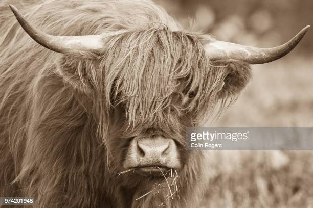 portrait of highland cow, scotland, uk - highland cattle stock pictures, royalty-free photos & images