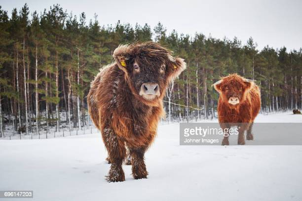Portrait of highland cows in pasture