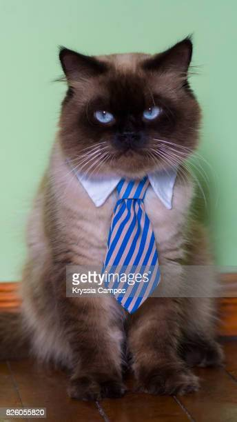 Portrait of Himalayan Cat Wearing Necktie At Home