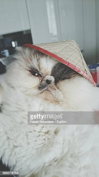 Portrait Of Himalayan Cat With Conical Hat In House