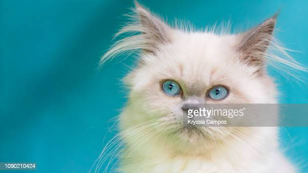 portrait of himalayan young cat - purebred cat stock pictures, royalty-free photos & images