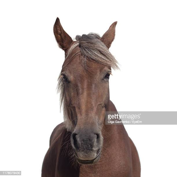 portrait of horse against white background - horse stock pictures, royalty-free photos & images