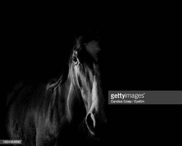 portrait of horse standing against black background - cheval photos et images de collection