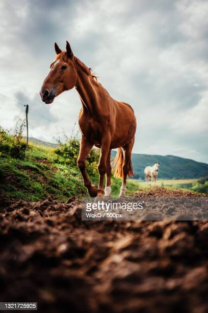 portrait of horse standing on field against sky,france - brown stock pictures, royalty-free photos & images
