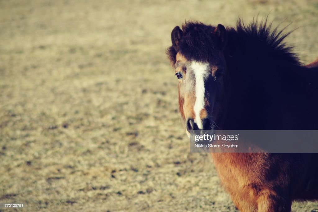 Portrait Of Horse Standing On Field : Stock Photo