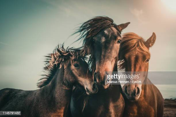 portrait of horses standing against sky during sunset - three animals stock pictures, royalty-free photos & images
