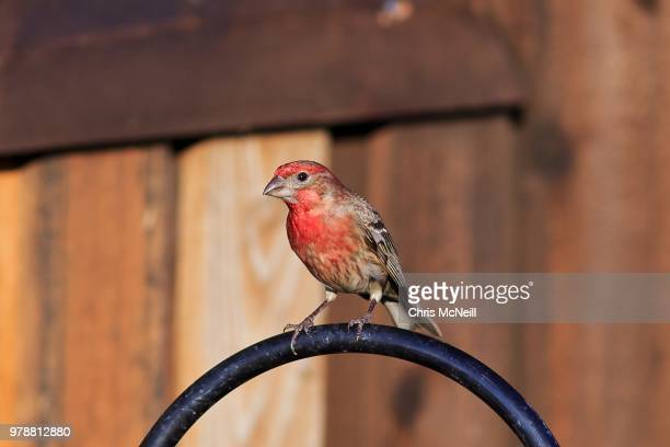 portrait of house finch (haemorhous mexicanus) - house finch stock pictures, royalty-free photos & images