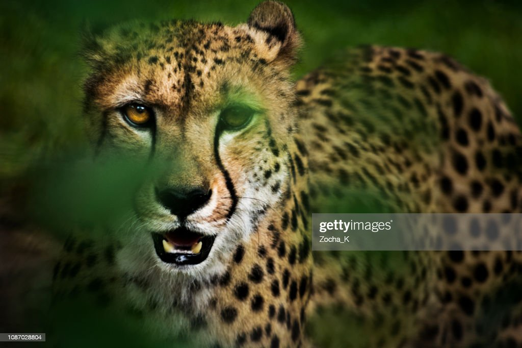 Portret van jacht cheetah in hoog gras : Stockfoto