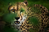 Portrait of hunting cheetah in high grass