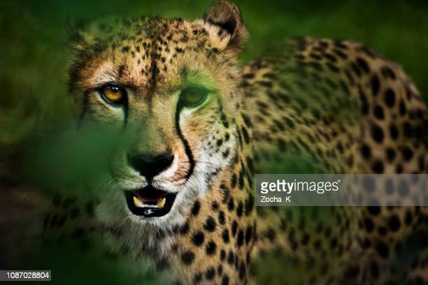 portrait of hunting cheetah in high grass - south africa stock pictures, royalty-free photos & images