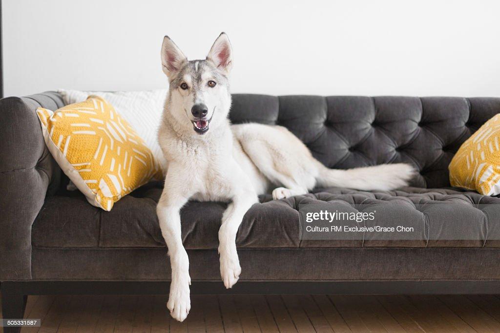 Portrait of husky dog lying on sofa : Stock Photo